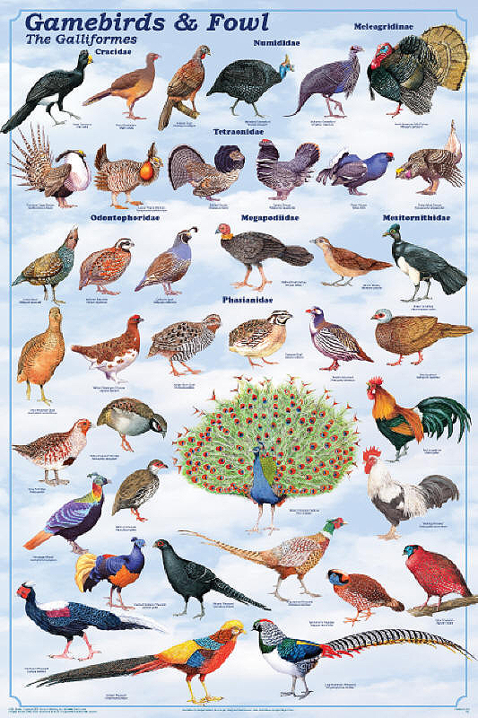 Gamebirds And Gamefowl Poster on Sounds Of Farm Animals