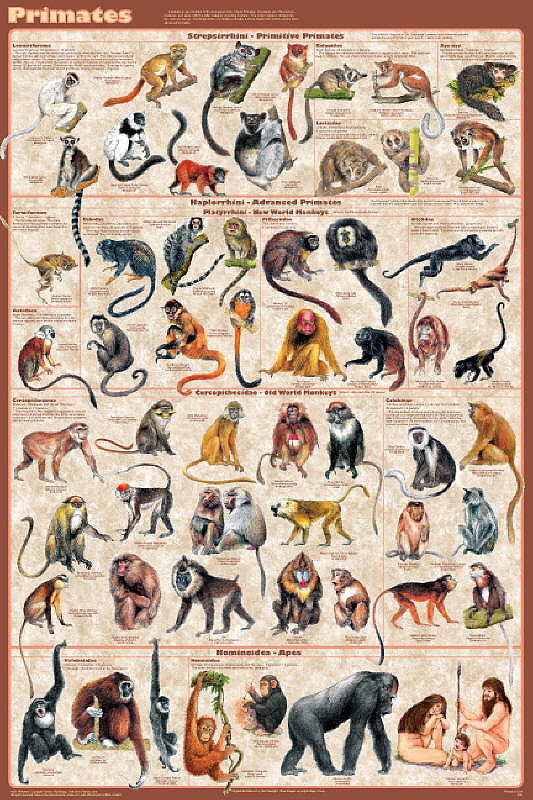 B Cup Size Examples Primates Poster presen...