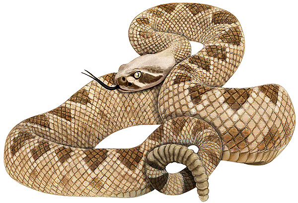 Diamondback rattlesnake drawing
