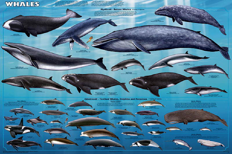 an overview of the scientific order of whales cetacea Twenty-nine species of cetaceans have been documented within the gulf of  mammal strandings is a subject of considerable interest to scientists and the.