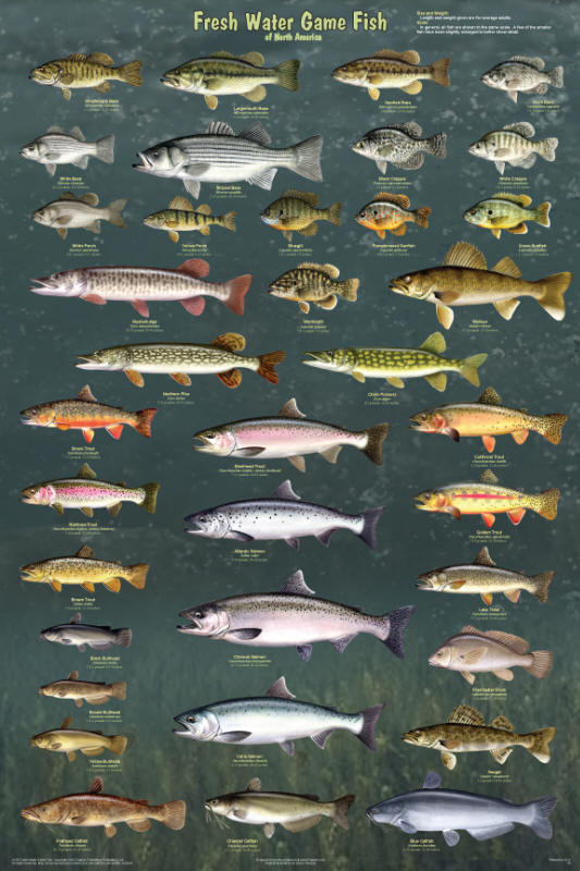 North american freshwater fish species for Freshwater fishing games